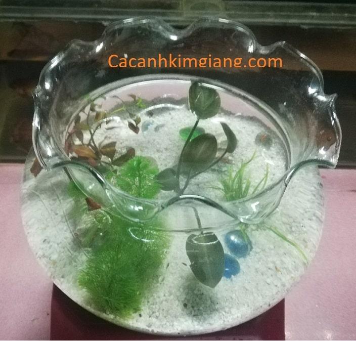 Bể cá cảnh mini tại hà nội bể cá tròn