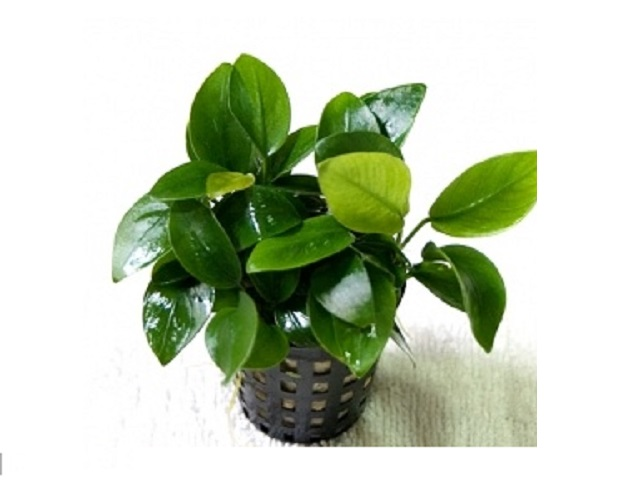 cây thủy sinnh ráy lá nhỏ cây thủy sinh dễ trồng dễ chăm sóc