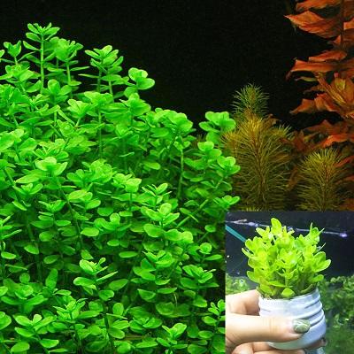 Cây thủy sinh Lệ nhi dễ trồng dễ chăm sóc