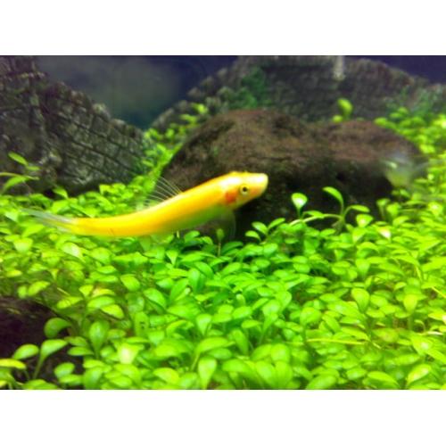 cá bống vàng dọn bể