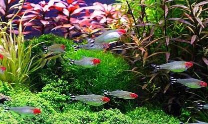 Cá sóc đầu đỏ bơi theo đàn