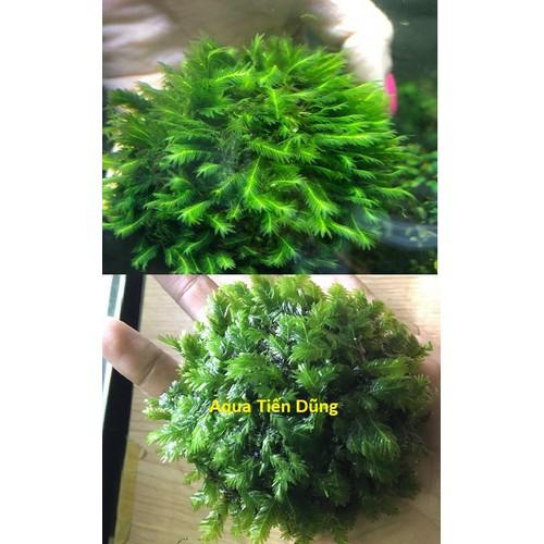 Rêu phượng vỹ cầu