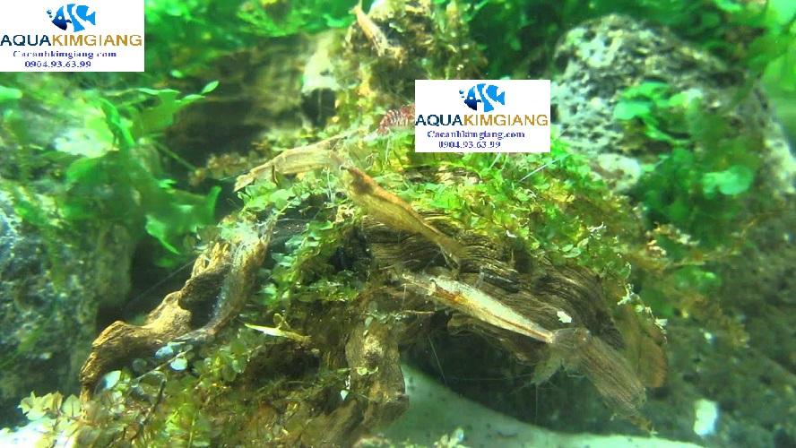 tép suối ăn rêu