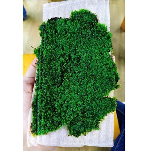 Rêu minifiss lá nước trải nền