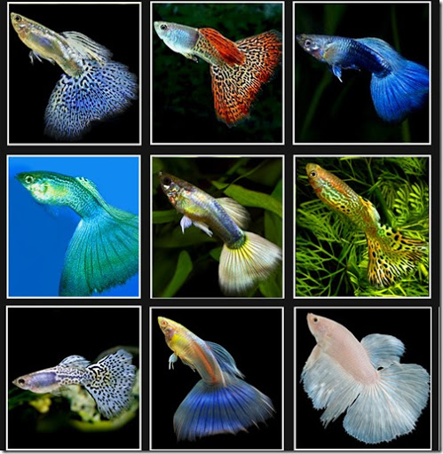 Tổng quan về cá 7 màu