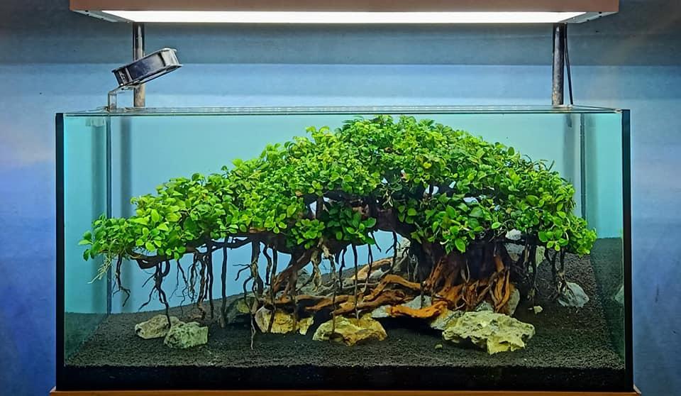 Ráy nana thường được buộc trên đá hoặc lũa