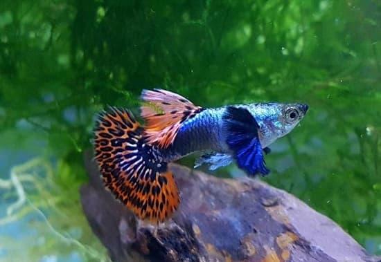 Nuôi cá 7 màu lên màu đẹp