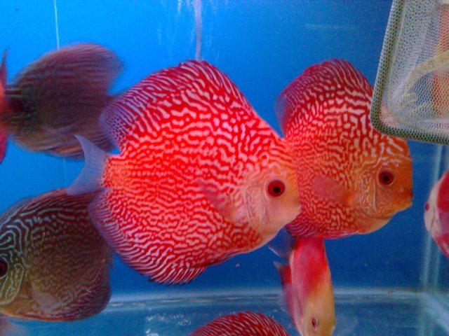 Cá đĩa bồ câu đỏ đẹp