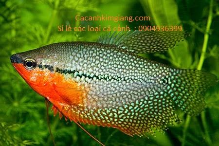 Cá mã giáp thuỷ sinh