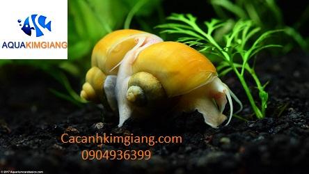 ốc táo vàng dũng sĩ diệt rêu vệ sinh bể cá